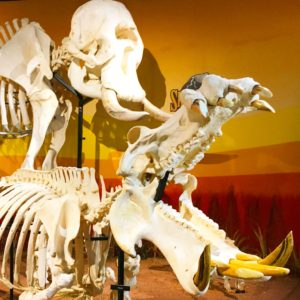 Skeletons - Osteology