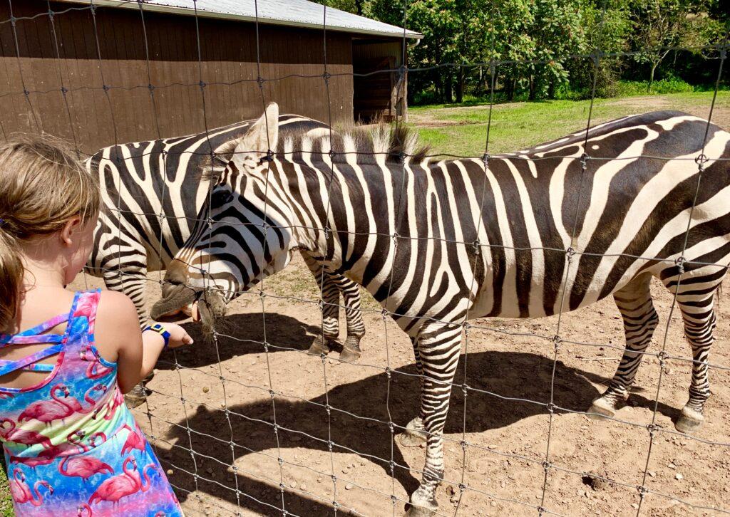 Feeding the zebra at Lake Tobias