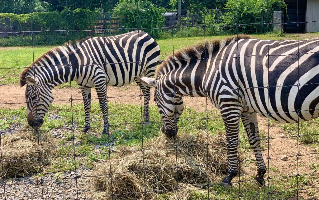 Leesburg Animal Park Zebra