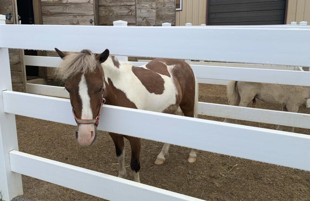Lil Country Store Miniature Horse