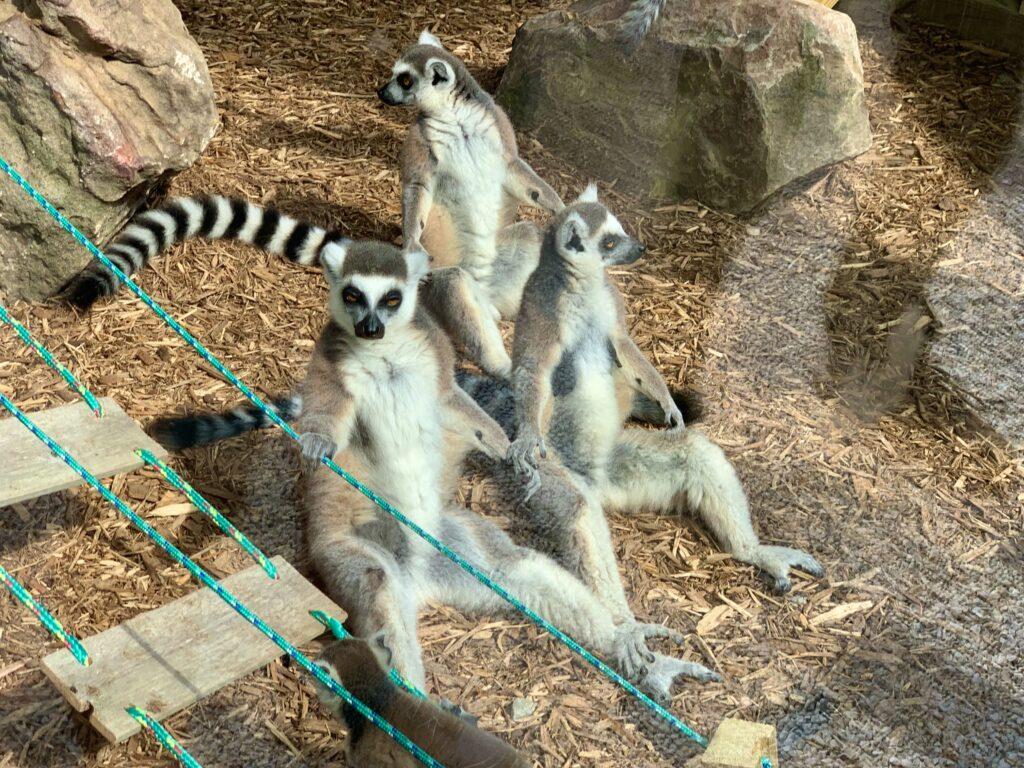 Living Treasures Lemur